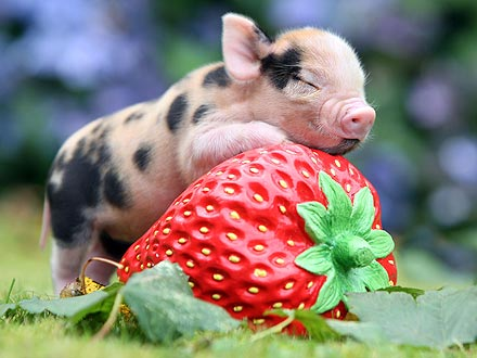 Adorable Piglet Melts My Cold Heart!